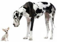 Toy Breeds: They're Not as Easy as You Think!